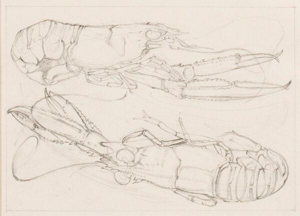 HODGKIN Eliot (1905-1987) - Crayfish.