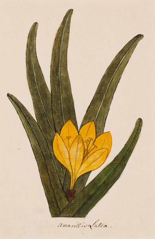 LEE Anne (1753-1790) - 'Amarillis Lutea'.