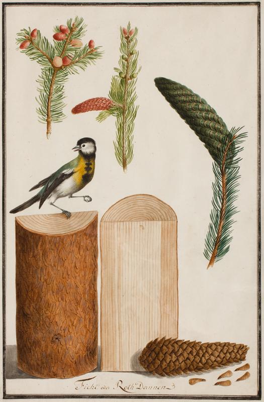 PFLEGER Ludwig (Late Eighteenth Century) - 'Ficht oder Roth Dannen'.