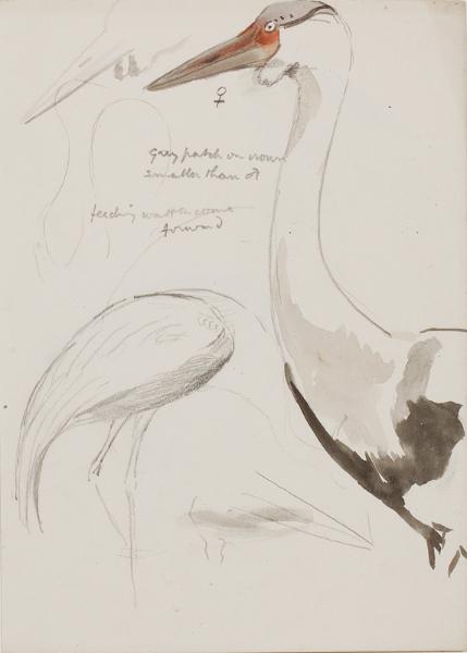 RICKMAN Philip (1891-1982) - Study of a crane.