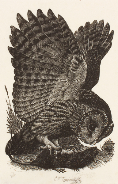 TUNNICLIFFE Charles Frederick O.B.E. R.A. R.E. (1901-1979) - 'Owl' onto a rat.
