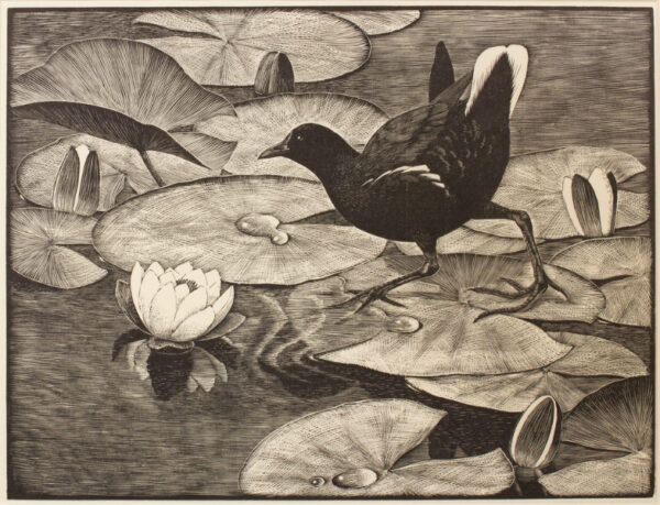 TUNNICLIFFE Charles Frederick O.B.E. R.A. R.E. (1901-1979) - Moorhen on lily pads.