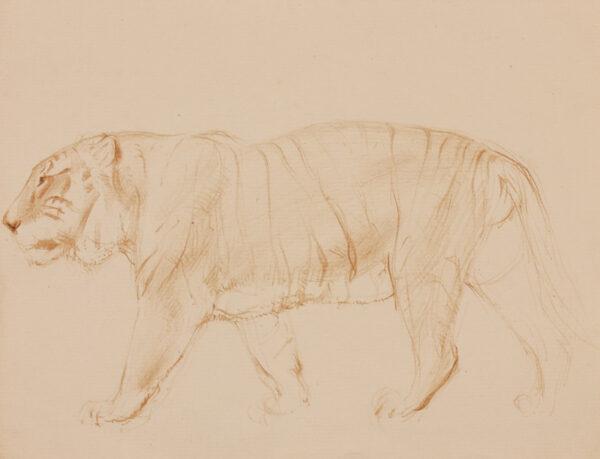 TUNNICLIFFE Charles Frederick O.B.E. R.A. R.E. (1901-1979) - Study of a tiger.